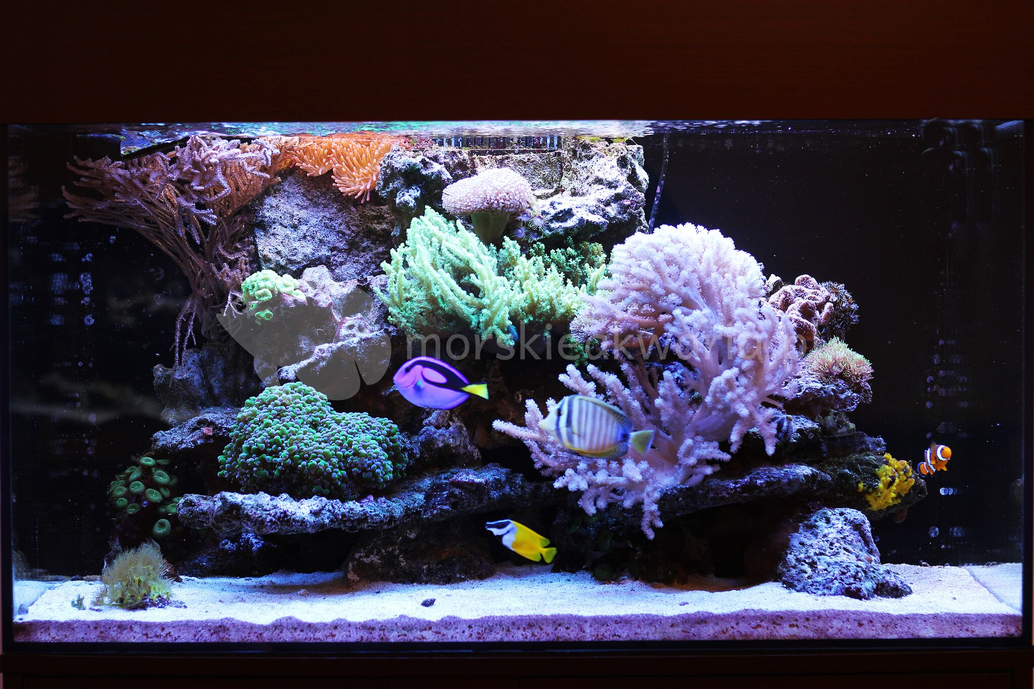 Akwarium-morskie-w-salonie